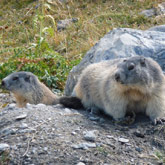 Come and visit the area where marmots run around, right next to the campsite at Guillestre
