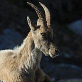 Scoprite gli stambecchi vicino al campeggio Guillestre nelle Hautes-Alpes.